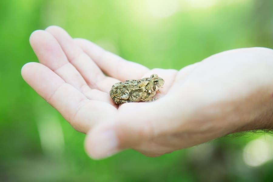 Миф № 10: Если потрогать лягушку или жабу, появятся бородавки